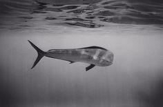 Mahimahi ~ photographer Wayne Levin #sea #ocean #fish #photography #underwater