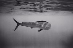 Mahimahi ~ photographer Wayne Levin #sea #ocean #fish #photography #underwater