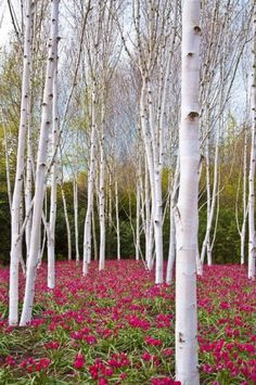White Birch Trees With A Red Flowers Carpet, Poland, by Katarzyna Drabek