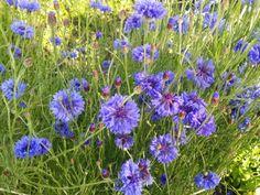 "Centaurea cyanus ""Blue Ball"""