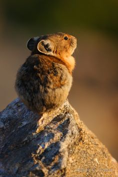 Pika in the sun. #etologiarelazionale - The ethology of emotions and empathy