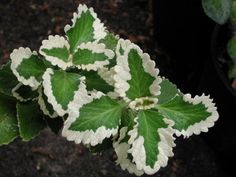 PlantFiles Pictures: Plectranthus, Spurflower 'Marginatus' (Plectranthus forsteri) by jonivy Famous Daves, Mother Plant, Begonia, Late Summer, Plant Leaves, Seeds, Survival, Garden, Pretty