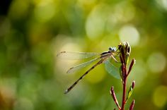 Dragonfly, via Flickr.