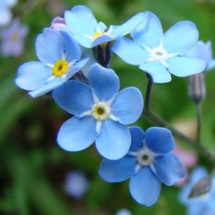 PR10730 BLUESYLVA  Forget-Me-Not Seeds  {CAN DIRECT SOW}  Compact, rounded mounds, covered with intense, medium-blue flowers with yellow eyes, which fade to white. Petals of flower buds are purple. A Royal Horticultural Society Award of Garden Merit winner.    100 SEEDS:$1.99