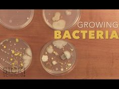 Growing Bacteria in Petri Dishes – The Lab