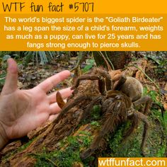 The world's biggest spider -  Weighs like a puppy, can LIVE 25 years, & Fangs That PIERCE SKULLS! ...HOLY MOTHER OF NOPE!    ~WTF!?! NOT-a-fun fact