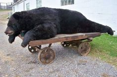 Black bear hunted in Dry Brook Hollow (Odin PA) from the Judy Bolton books. Potter County PA is 'hunting country'. If you are a Judy Bolton fan who is squeamish about hunting - BEWARE!