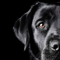 Nice shot...good crop.   I like it....and I love Labs.  sweetest dog I have ever known.