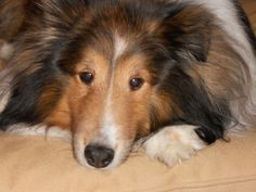 Contented sheltie (P.S.) he looks just like our belated Toby XOXOXO