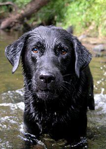Care for a Labrador Retriever