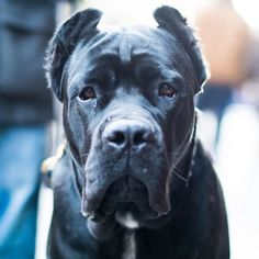 """Lorenzo Cane Corso (8 m/o) Christopher & Hudson St. New York NY """"He's from France. He's a full-pedigree Corso descended from Basir the foundation dog of the Cane Corso. He's one of our two Corsos."""" by: @thedogist"""