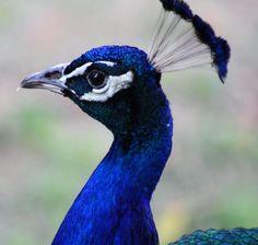 Pecocks beautiful birds