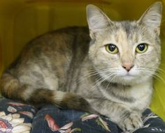 RESCUED>Intake: 4/30 Available: 5/6 NAME: Sassy  ANIMAL ID: 27707347 BREED: DSH  SEX: Female  EST. AGE: 1 yr  Est Weight: 7.13 lbs  Health:  Temperament: Friendly  ADDITIONAL INFO:  RESCUE PULL FEE: $39