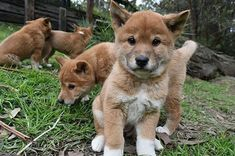 If You're Having A Shit Day, Just Come Look At These Dingo Puppies OMG