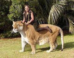 """Um filhote de leão com um tigresa, um """"ligre"""", foi eleito o maior felino do mundo pelo Guinness Book of World Records de 2014."""