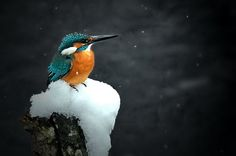 Kingfisher in the Snow -1  By Ken Ohsawa