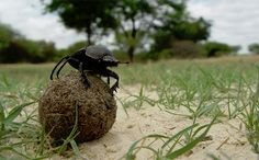 Dung Beetles Navigate Via the Milky Way, First Known in Animal Kingdom – National Geographic Society Newsroom Carnivore, National Geographic Society, Animal Crackers, Galaxy Art, Milky Way, Botany, Animal Kingdom, Line Art, Beetles