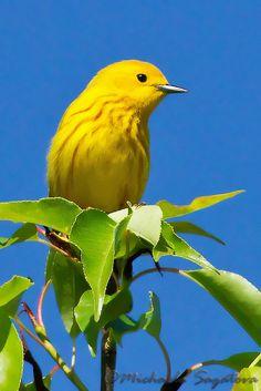 Yellow Warbler by ~ Michaela Sagatova ~, via Flickr