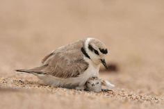One of Monterey's most threatened (and cutest) species is the snowy plover. Please do not disturb the birds or their nests when visiting our beaches!