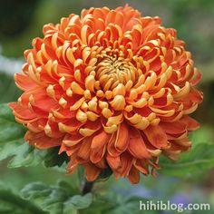 Hi Hi BLOG: Các loại hoa cúc có thể bạn chưa biết tên