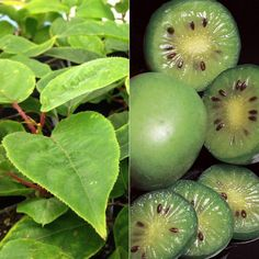 Save money and guarantee proper pollination when you buy a hardy kiwi collection.    Proper pollinators are conveniently included for you, so you...