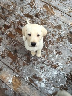 Lab puppies are the cutest!