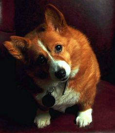 Welsh Pembroke Corgi Spaniel Terrier Dog Photography Puppy Hounds Chien Puppies Pup