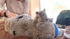 Baby Koala Lovingly Clings To Mum While She Has Surgery, And Won't Leave Her Side!