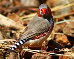 Richard Waring's Birds of Australia: Zebra Finches (again) but they are so friendly