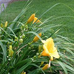 How to encourage certain varieties of lilies to rebloom