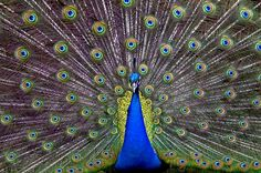 inch mm) wooden frame with digital mat and print (other products available) - Indian peafowl (Pavo cristatus) peacock displaying feathers, captive, occurs in South Asia. - Image supplied by Nature Picture Library - Wooden frame with mat made in the USA Male Peacock, Indian Peacock, Peacock Shower Curtain, Peafowl, Under The Lights, Nature Pictures, Free Pictures, Pretty Pictures, Beautiful Birds
