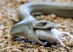 Black Mamba Eating Snake black