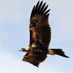 Australian wedge tailed eagle