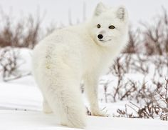 Arctic Fox have the thickest fur of all mammals which changes color depending on the season and can have as many as up to 15 pups