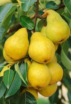 Pera Williams - William pear - A superb old variety, the fruit is large, sweet and very juicy. Fruit Plants, Fruit Garden, Fruit Trees, Fruit And Veg, Fruits And Vegetables, Fresh Fruit, Ripe Fruit, Pyrus, Veggie Gardens