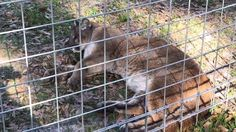 Reise Cougar Playing with Ball in FunCation