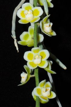 Chiloschista viridiflava Var. flava - Flickr - Photo Sharing!
