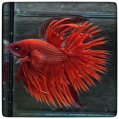 AquaBid.com - Super Red Crown (1764)
