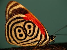 A neglected eighty-eight butterfly (Diaethria neglecta) in Brazil's Pantanal displays the design of lines and dots that gave it its unusual common name.