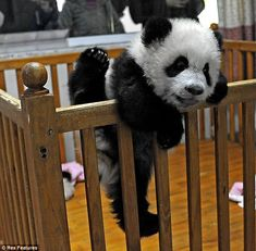 This looks exactly like my boys as toddlers when they'd escape from their cribs, only obviously they weren't pandas.