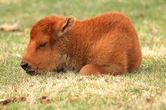 newborn Bison naps at Yellowstone