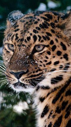 Powerful leopard