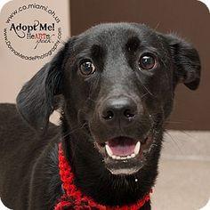 Troy, OH - Labrador Retriever Mix. Meet Emma, a dog for adoption. http://www.adoptapet.com/pet/13496183-troy-ohio-labrador-retriever-mix