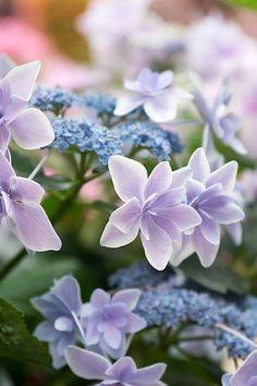 I find hydrangea endlessly beautiful. This lace cap hydrangea is especially fascinating Amazing Flowers, My Flower, Pretty Flowers, Purple Flowers, Hydrangea Colors, Flower Colors, Hydrangea Flower, Colours, Hortensia Hydrangea