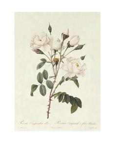 Rosa Campanulata Alba Giclee Print by Pierre-Joseph Redouté at Art.com