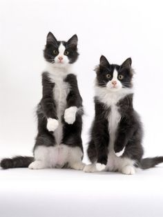 kitty tuxedos
