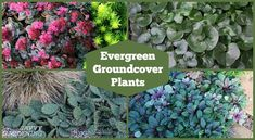 Meet 20 evergreen groundcover plants that are beautiful all year long. Some are suited to full sun, others are best for shade. Many also produce flowers. Evergreen Landscape, Evergreen Garden, Sun Plants, Shade Plants, Flowers Perennials, Planting Flowers, Evergreen Ground Cover Plants, Landscaping On A Hill, Landscaping Ideas