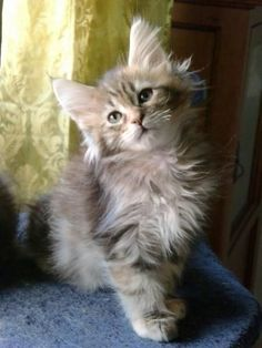 Maine Coon kitten......so adorable