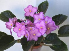 Halo-s Aglitter African Violets, Plants, Outdoor