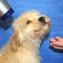 Wie Pflege Ich Meinen Schnoodle Schnoodle Hybridhunde Aus Zwergschnauzer Und Zwergpudel Doodle Zwergpudel Schnauzer Hundebekleidung